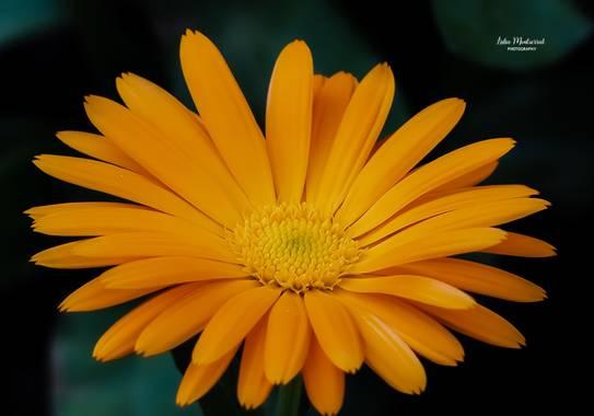 Lidia__lmr38 en Hamelin: Flora  (Villafranca de Ebro), Calendula officinalis,   Las distintas tonalidades del color naranja se han relacionado con rasgos d...