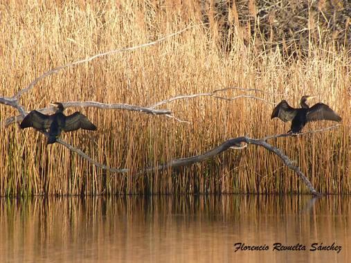 florenrevuelta en Hamelin: Fauna  (Somolinos), Phalacrocorax carbo (Linnaeus, 1758), #invierno20 Tomando un poquito de sol