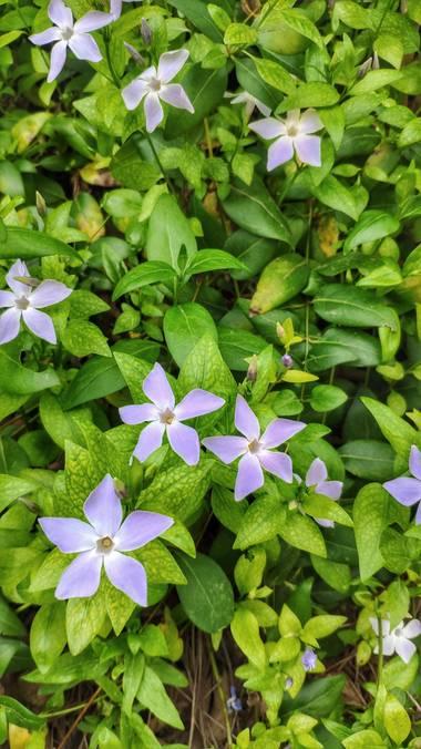 Isabel A. en Hamelin: Flora  (Navajas), Vinca difformis, #flora21