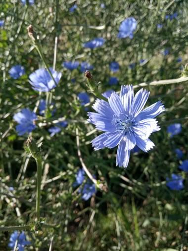 Juani✨ en Hamelin: Flora  (Victoria), Cichorium endivia, #flora21