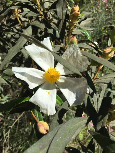 auricahk en Hamelin: Flora, Cistus ladanifer, Costa Del Sol Spain