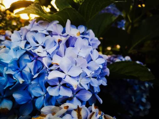 imagiaproducciones en Hamelin: Flora  (Ponferrada), Hydrangea macrophylla, #hortensia #floresvioletasyblancas #floresamarillas #floresdeprimavera #florazuc...