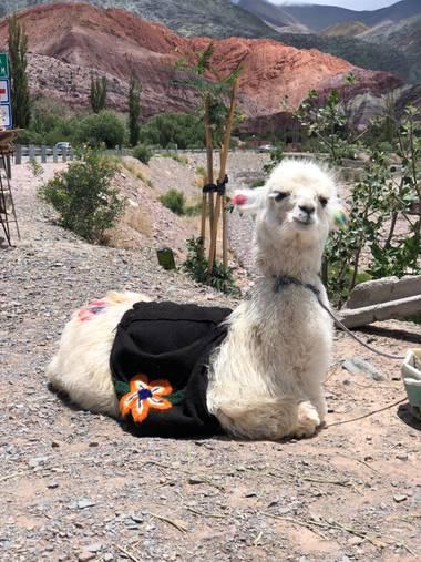 Lean Caniggia en Hamelin: Fauna  (Purmamarca), Camelidae, más conocida como Llama en mi país (Argentina). Fotografía sacada en Purmamarca, prov. de Jujuy -...