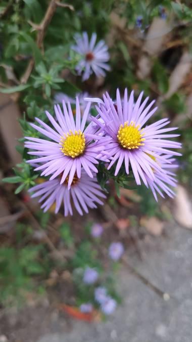Isabel A. en Hamelin: Flora  (Sant Llorenç Savall), Aster amellus, #flora21
