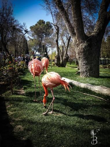 Conbyconv en Hamelin: Fauna  (Madrid), Phoenicopterus ruber Linnaeus, 1758, #aves21