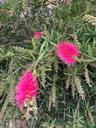 carogv1995 en Hamelin: Flora  (Archena), Callistemon citrinus, #flora21 #rosarosae