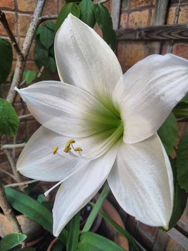 J. Inés Fuertes en Hamelin: Flora  (La Línea de la Concepción), #amarilis #elpatiodemicasa #mayo #primavera #flores