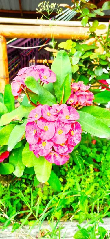 pastoressd en Hamelin: Flora  (Pitalito)