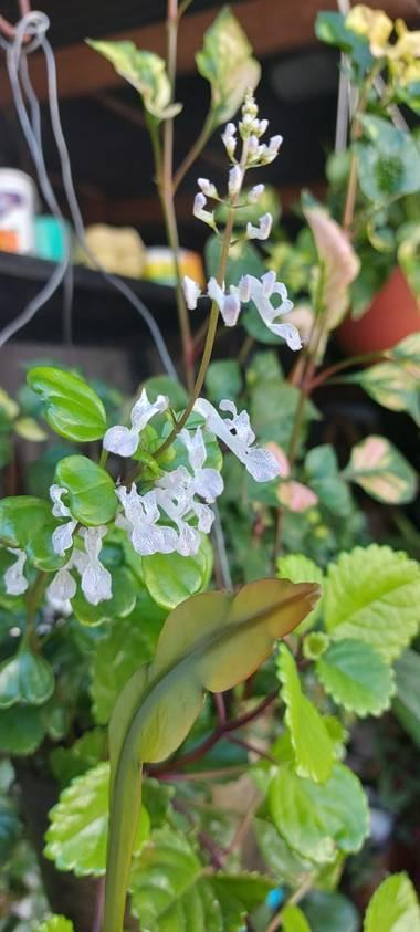 Candesandez1 en Hamelin: Flora  (Ciudad de Buenos Aires), Plectranthus verticillatus