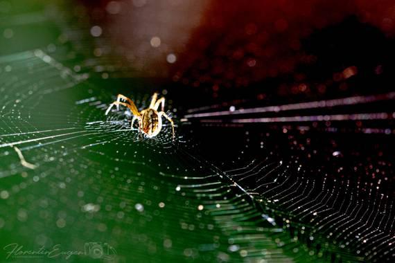 Florentinoeugenio en Hamelin: Fauna  (San Fernando de Henares), #araña