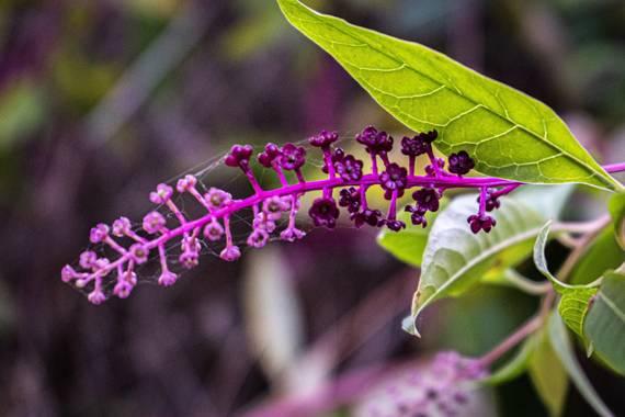 Dominrueda en Hamelin: Flora, Phytolacca americana, #flora21