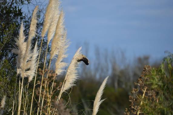 Doro en Hamelin: Fauna  (Maldonado), Boyerin