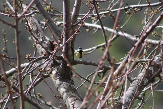 Luizlesa90 en Hamelin: Fauna  (Garganta la Olla), Herrerillo común
