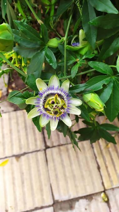 Martin.belinsky89 en Hamelin: Flora, Passiflora caerulea, #flora21