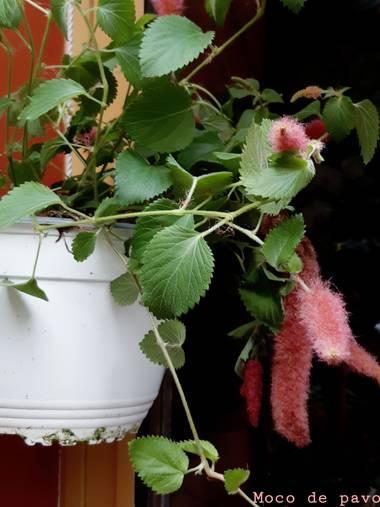 Mpinfante en Hamelin: Flora, F