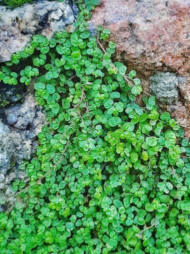 Mpinfante en Hamelin: Flora, Soleirolia soleirolii
