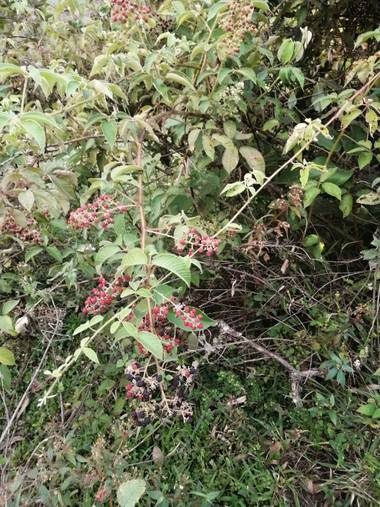 Lorenavallejo27 en Hamelin: Flora, fruto #mora #silvestre #campo #colombia #boyacá #Garagoa #calderaarriba