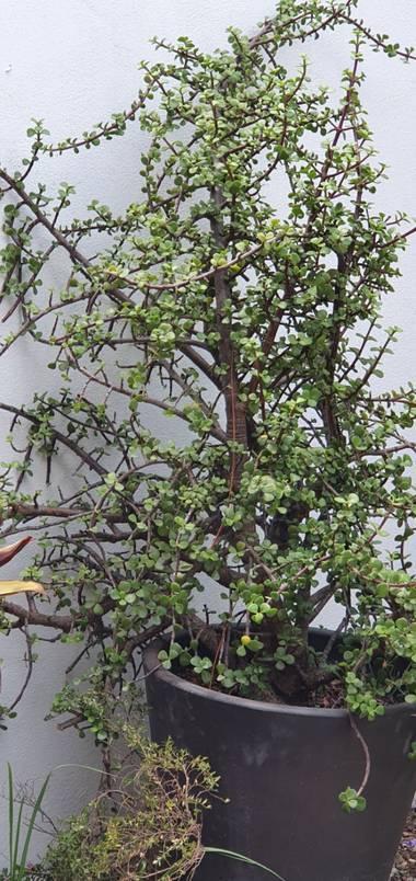 Danieldiazgrcia en Hamelin: Flora  (Ocoyucan), Portulacaria afra, Abundancia
