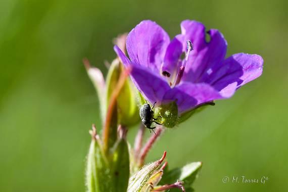 manuel.torres1 en Hamelin: Flora  (El Vendrell), Geranium sylvaticum, #flora21