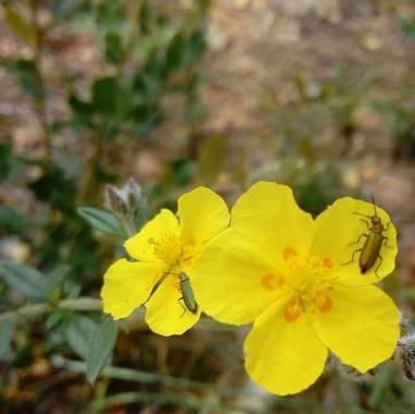Fedilop en Hamelin: Flora  (Arganda del Rey)