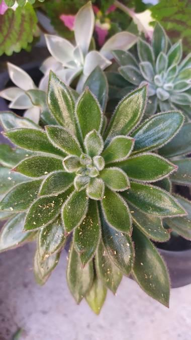 Morena clara en Hamelin: Flora, Echeveria setosa, 🥰🥰