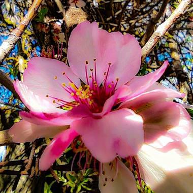 Catalinaruizgarcia en Hamelin: Flora  (Palma), Prunus persica