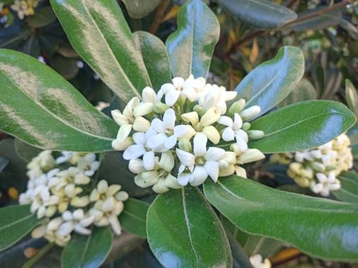 Lamaria_deviatge en Hamelin: Flora, Pittosporum tobira, Flores#flores