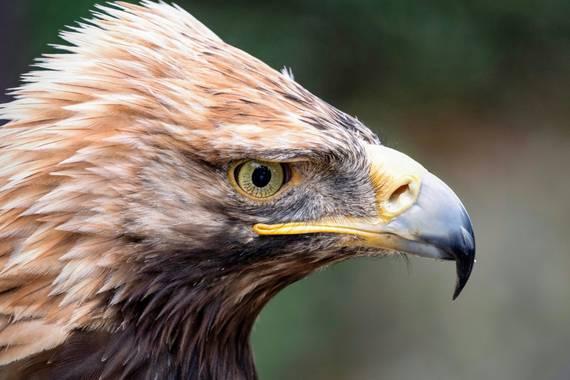 Pablosdoc en Hamelin: Fauna  (Toledo), Aquila adalberti C.L.Brehm, 1861, #aguilaimperial #rapces #aves #birds #naturaleza #nature #wildlife #fauna #animale...