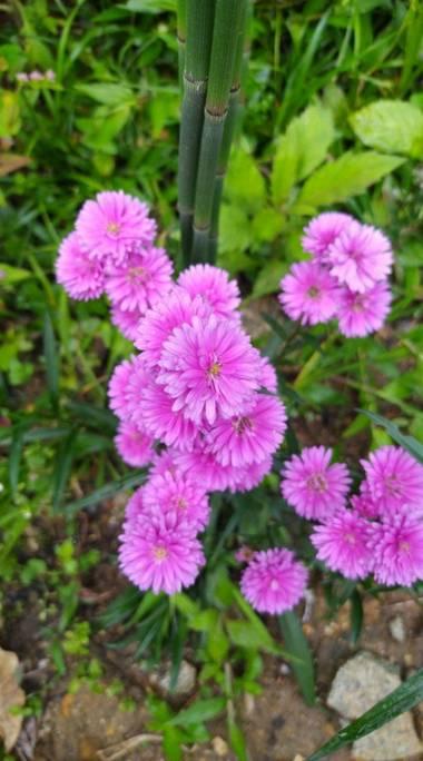 Jaserc39 en Hamelin: Flora, Cuál es el nombre?