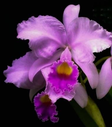 Amigomar197171 en Hamelin: Flora  (Cali), Cattleya trianae, Flor nacional colombiana.  Es la más abundante y más característica de las cattleyas colombiana...