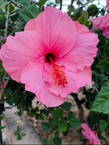 carogv1995 en Hamelin: Flora, Hibiscus rosa-sinensis, #flora21 #rosarosae #naturalezabella