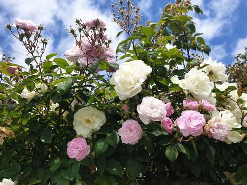 Eva.160968 en Hamelin: Flora  (Ponteceso), #flores #ponteceso #naturaleza_spain #galicia