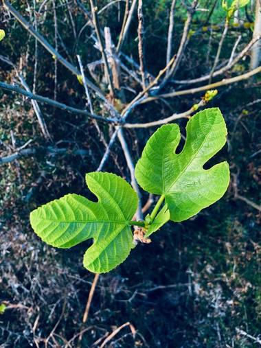 Clari Montal en Hamelin: Flora  (Sineu), #primavera2021 #mallorca #sineu