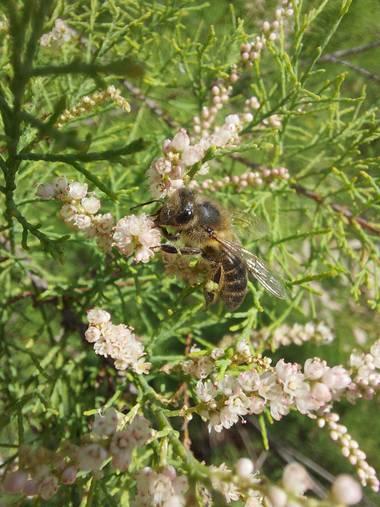 Apasnau75 en Hamelin: Fauna  (Málaga), Ese árbol Tamarix estaba lleno de abejitas.