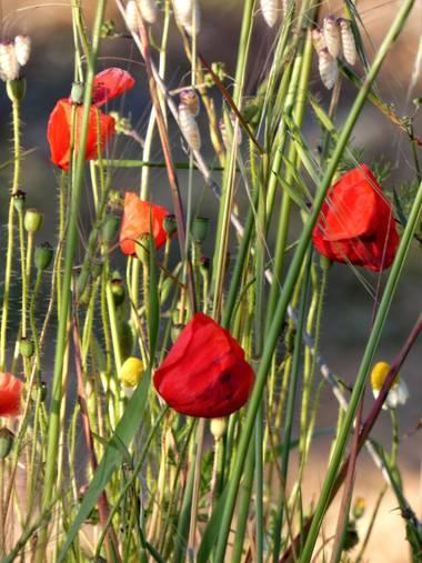 mariale en Hamelin: Flora, Papaver rhoeas, 📸 #marialemdza Provincia de Zamora, primavera 2021. #Naturaleza #flores #floressilvestres #amapola #amapolas #...
