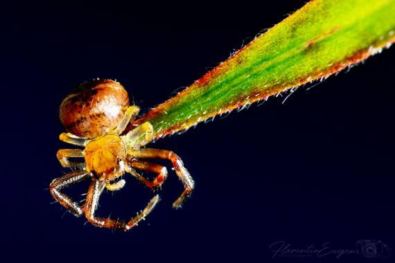 Florentinoeugenio en Hamelin: Fauna  (Coslada), #araña