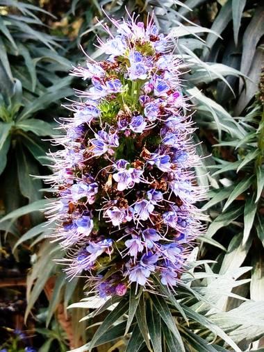 silvia_0664 en Hamelin: Flora  (Barcelona), Echium candicans, #flora21