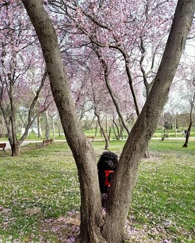 Lasonymegamas en Hamelin: Flora  (Madrid), Árboles en flor