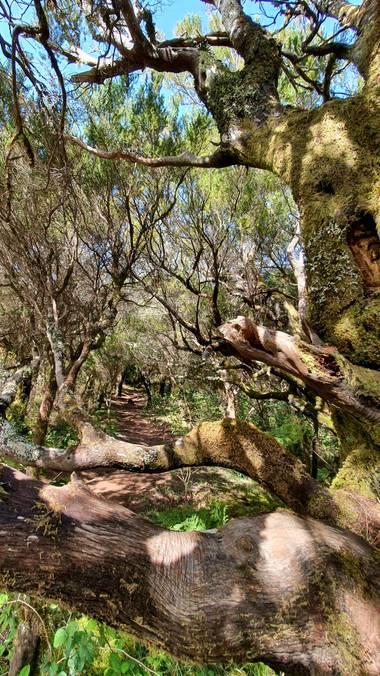 Melchique en Hamelin: Paisaje  (Santiago del Teide), Una ruta en un cuento de bosque.   Esta foto ha realizado en un sendero en las cumbres de bolico desde...