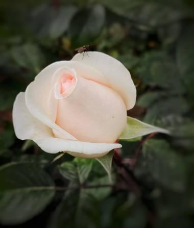 Lys Du Mort Photography en Hamelin: Flora  (Barcelona), Parque de Cervantes  #rosas #flora21