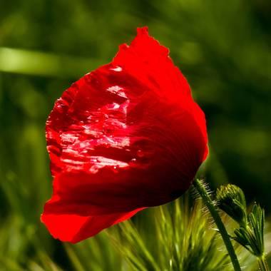 Mistela17 en Hamelin: Flora, Papaver rhoeas, #flora21