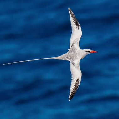 Danijosebh en Hamelin: Fauna  (La Oliva), Phaethon aethereus Linnaeus, 1758, #fauna #birds #birdingspain #avesdeespaña #atlantico #oceanoatlantico #islasca...