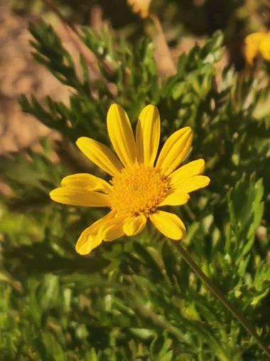 Dinuflorenta006 en Hamelin: Flora  (Calp), #flora21 #amarillo @amaryya #verde #calpe #alicante