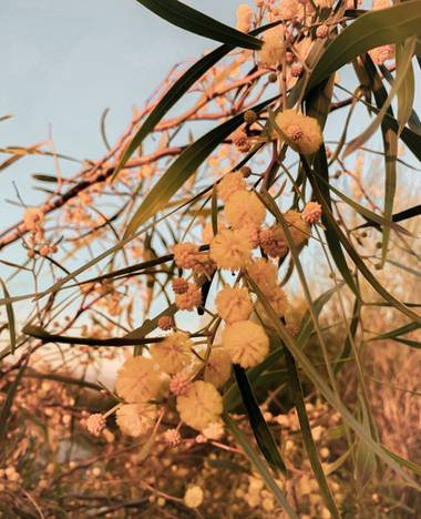 A E S T H I N A en Hamelin: Flora, Acacia retinodes, #flora21 #hamelinflora #hamelin #flower #plant #nature #naturaleza #plantas #biodiversity #biodiversi...