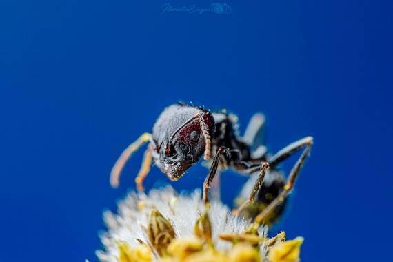 Florentinoeugenio en Hamelin: Fauna  (Coslada), #hormiga