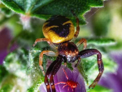 Tomasbejar en Hamelin: Fauna  (Altea), #arañadisfrutandosumerienda