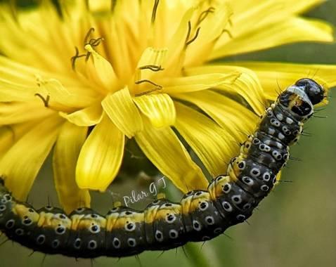 Pilarmayo012 en Hamelin: Fauna  (La Nava de Ricomalillo), Es una polilla de la familia Depressariidae. Se encuentra en la mayor parte de Europa, excepto en...