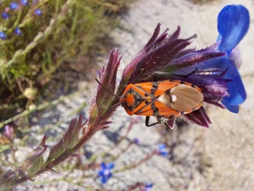 Apasnau75 en Hamelin: Fauna  (Pizarra), O chinche de campo sobre la planta llamada lengua de buey