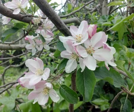 Lamaria_deviatge en Hamelin: Flora, Flores #flores