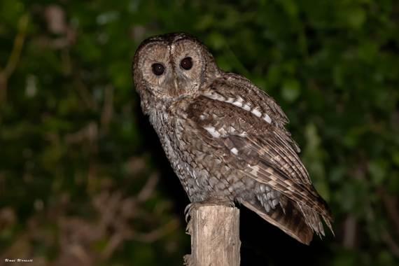Unai Urresti en Hamelin: Fauna  (Trucios), Strix aluco Linnaeus, 1758, Carabo.  #aves21 #carabo  #fauna